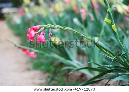 Impatiens glandulifera flowers in garden - stock photo