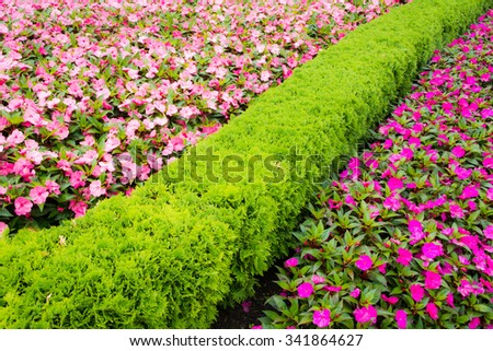 Impatiens walleriana flowers divided by thuja hedge. - stock photo