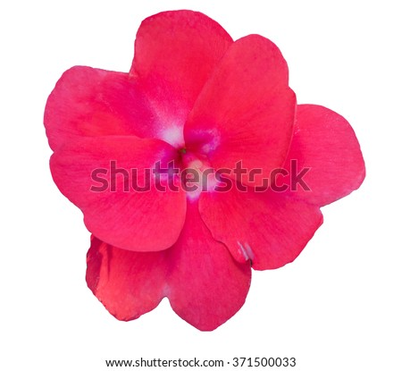 Impatiens walleriana red flower on white background. - stock photo