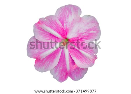 Impatiens walleriana white and pink flower on white background. - stock photo