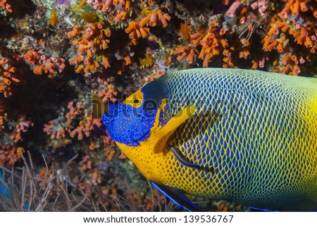 Imperial angel fish on coral reef in maldives - stock photo