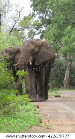 Impressive African Elephant grazing in the Kruger National Park - stock photo