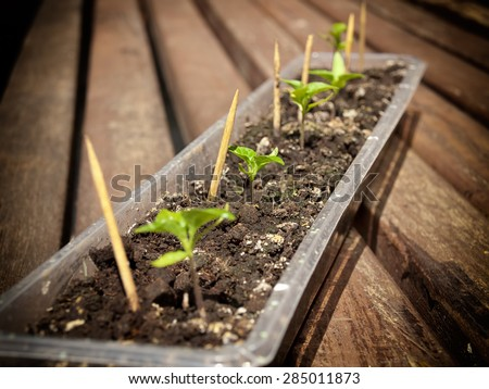 Improvised hotbed for several chili pepper plants. - stock photo