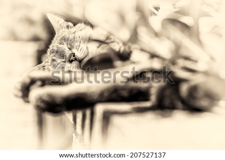 In background focus on the head of an adult tabby cat sleeping lengthened on a low wall. Black and white fine art portrait of domestic cat. - stock photo