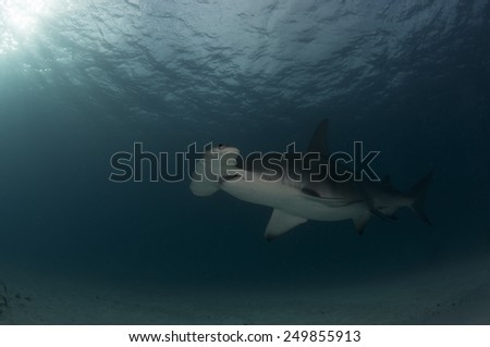 In Deep Water we see a Great Hammerhead Shark from Bimini, Bahamas - stock photo