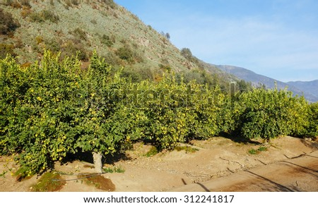 In full production agricultural planting lemon trees - stock photo