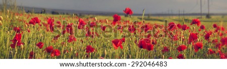 In May, June, the wheat fields of wild poppies bloom in Europe - often in fields where herbicides are not used. The combination of wild flowers and cultivated plants is very beautiful - stock photo