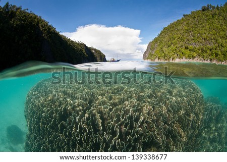 In Raja Ampat, Indonesia, colonies of blue coral (Heliopora coerulea) live in a shallow, protected lagoon surrounded by limestone islands where there is very little current. - stock photo