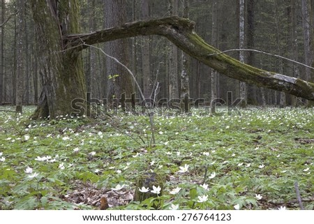 In spring flowering Wood Anemone around old moss wrapped hornbeam tree with broken branch - stock photo
