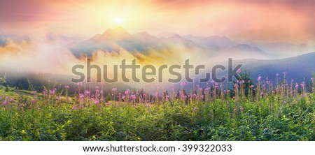 In summer, in July, in the Carpathian Mountains of Montenegro under the beautiful flowers bloom - willow-herb. On meadows above the forest after the rain mist, giving the magic charm of dawn - stock photo