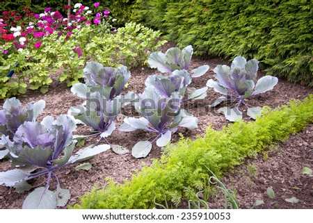 In the Cottage Garden, beds with young carrots, red cabbage, potatoes and flowers. - stock photo