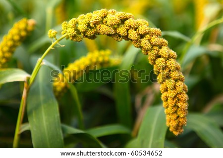In the early autumn season. Maturing millet - stock photo