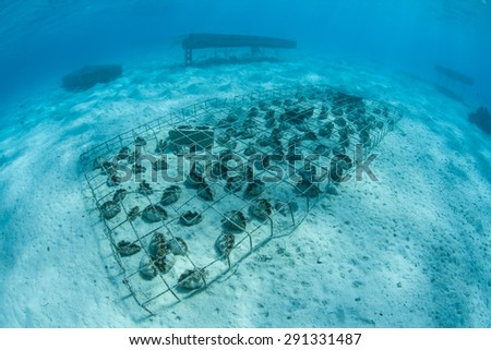 In the lagoon of Aitutaki, Cook Islands, giant clams are being grown in cages that protect them from predation. Once the clams reach a certain size they are safe from virtually all predators. - stock photo
