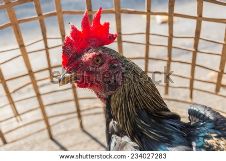 In the morning thailand man put  cockfighting in coop to sunbathe for strong body. - stock photo
