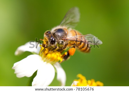 In the summer time, a lovely honey bee is busy for collecting nectar on the flower. Close up of the bee - stock photo