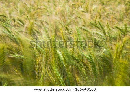 In the wind under the sun in a golden wheat field - stock photo