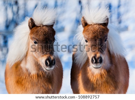 in winter two cute ponies - stock photo