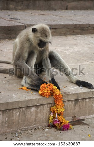 India, Rajasthan, Pushkar, an indian monkey plays with flowers on the steps to the sacred lake - stock photo