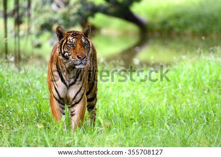 India Tiger standing at indian forest  - stock photo