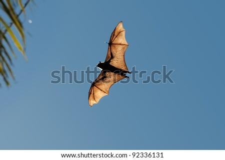 "Indian Bat ""Flying Fox"" flying over  Tissamaharama, Sri Lanka - stock photo"