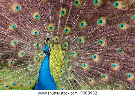 Indian Blue Peacock (Pavo cristatus) - stock photo