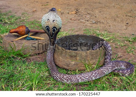 Indian Cobra - stock photo