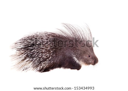 Indian crested Porcupine (Hystrix indica) isolated on white background - stock photo