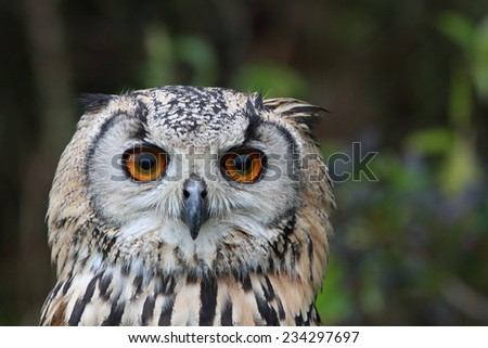 Indian Eagle Owl - stock photo