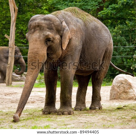 Indian elephant in the zoo - stock photo