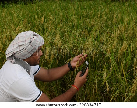 Indian Farmer checking growth of rice paddy farm and making call with smart phone, concept for technology help available to farmers in today's world - stock photo