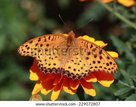 Indian Fritillary (Argynnis hyperbius) or female brush-footed japanese butterfly_Female - stock photo