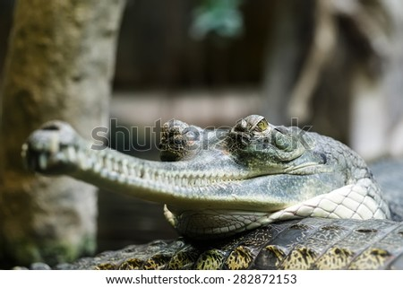 Indian gharial is resting - stock photo