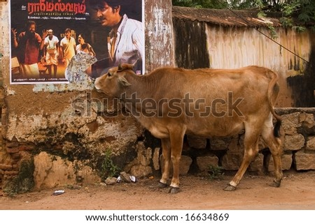 indian holy cow eating a poster - stock photo