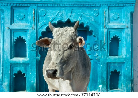 Indian holy cow in front of the tipical Indian house, Orchha, Madhya Pradesh, India - stock photo