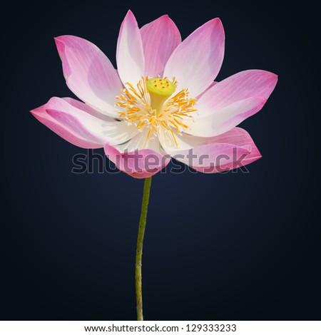 Indian lotus isolated on the black background - stock photo