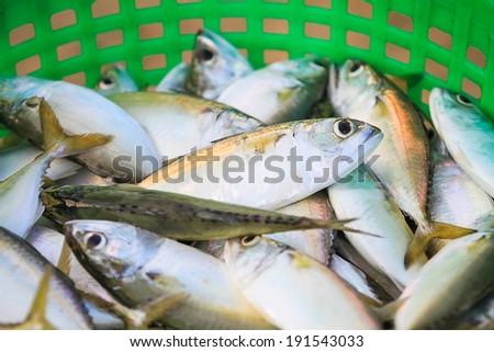 Indian mackerel, Mackerel,  Rastrelliger kanagurta,  - stock photo