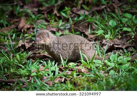 Indian Mongoose - Herpestes javanicus - stock photo