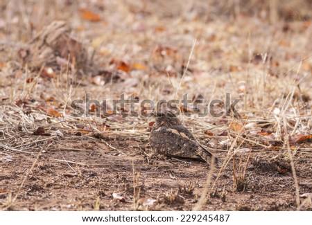 Indian nightjar (Caprimulgus asiaticus) sitting on the ground - stock photo