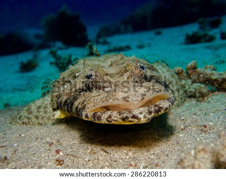 Indian Ocean crocodile-fish (Papilloculiceps longiceps) - perfect mimicry on the coral bottom. Red Sea, Egypt - stock photo