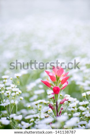 Indian paintbrush alone in a field of fleabane. - stock photo