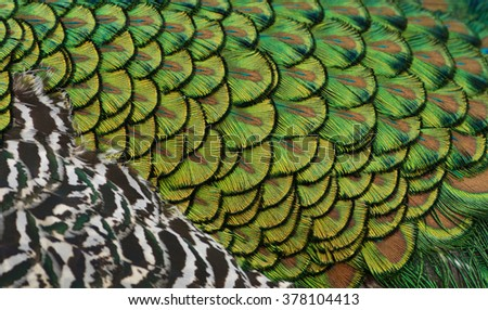 Indian peacock feathers abstract (shallow depth of field). - stock photo