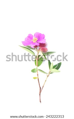 Indian Rhododendron - stock photo