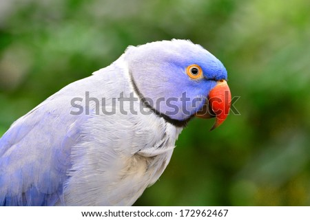 Indian Ring Necked Parrot - stock photo