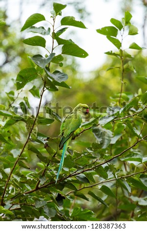 Indian Ringnecked Parakeet parrot on the tree - stock photo