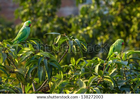 Indian Ringnecked Parakeet parrots on the tree - stock photo
