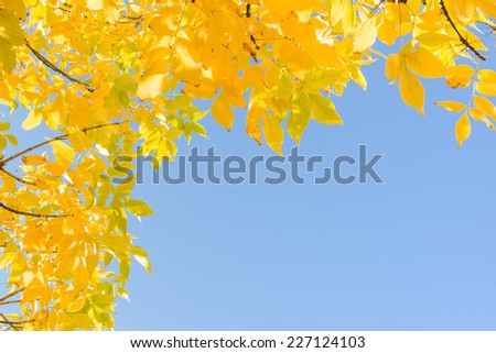 Indian summer - gold yellow autumn leaves over clear blue sky. Frame background with corner and free copyspace place for text. - stock photo