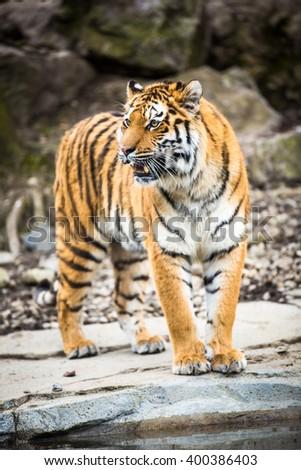 Indian Tiger - stock photo