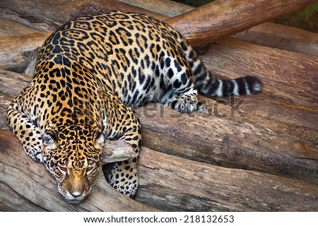Indochinese Leopard, Pregnant mother tiger lying relax. - stock photo