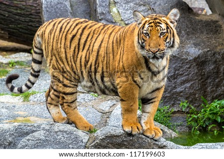 Indochinese tiger cub stadning - stock photo