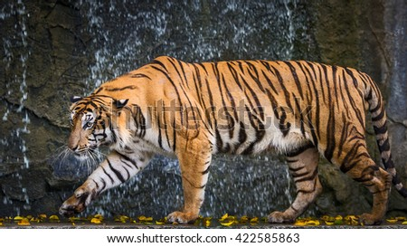 Indochinese tiger (Panthera tigris corbetti) Tierpark Berlin. Rainy day tiger refuge in a cave. - stock photo